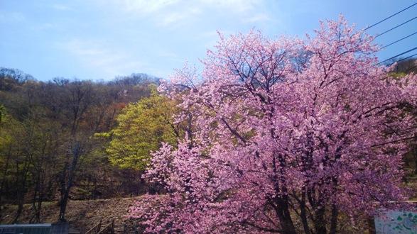 榛名湖桜h27