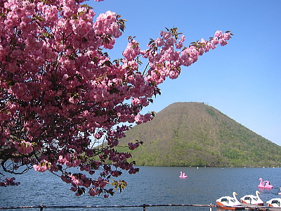 本店前の八重桜